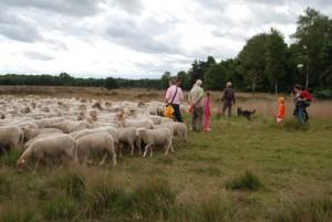 Kom kijken naar het schapendrijven (c) foto margot van den boer