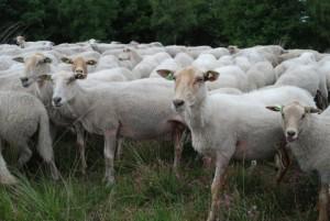 schapen hoeden, een vak apart (c) foto margot van den boer