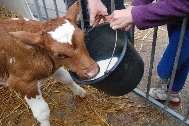 Kalfjes melk geven