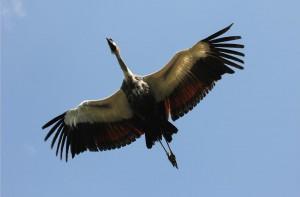 De Kraanvogel in vlucht