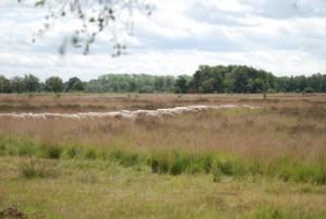 schapen grazen op de heide (c) margot van den boer