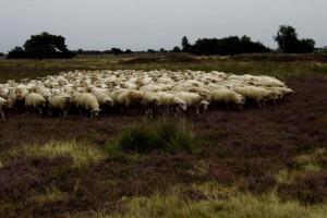 Creatief op de heide bezig zijn, is niet moeilijk met al die schapen (c) margot van den boer