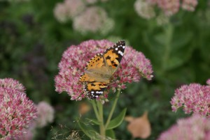 Vlinder in de tuin (c) margot van den boer