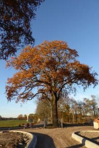 Deze oude boom wordt gekapt
