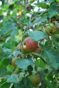 appels bij de boer (c) margot van den boer