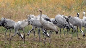 Kraanvogels (c) Cor Speek