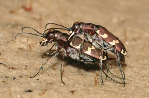 basterdzandloopkevers foto PvB